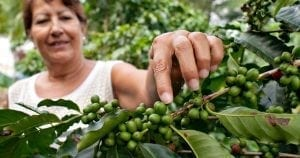 Rainforest Alliance Certified coffee farm: sustainable coffee - caffè sostenibile