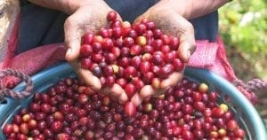 Rainforest Alliance Certified coffee cherries: sustainable coffee - caffè sostenibile